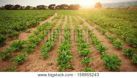 Green plantation on field against sky