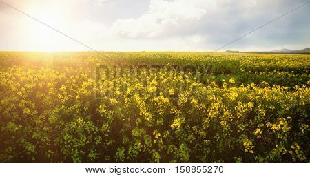 Scenic view of beautiful mustard field on sunny day