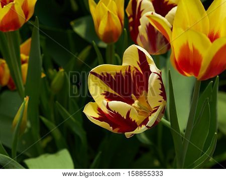 multi coloured tulips in their full glory