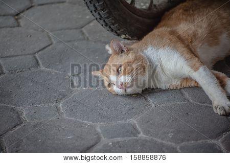 Beautiful white and orange cat on the street