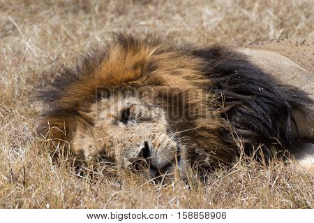 Close up of an adult male lion with scars and flies on his face resting in the dried grass of Sub-Saharan Africa.