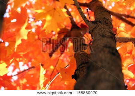 close up of orange fall leaves on a branch