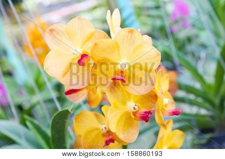 Closeup of Beautiful yellow orchid in garden