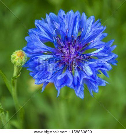 Cornflower blue. Blue cornflower in the garden