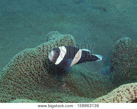 The surprising underwater world of the Bali basin, Island Bali, Puri Jati, fish-clown