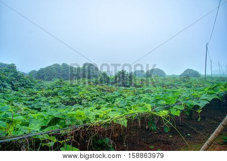 Vegetable plantation in Vietnam. Momordica charantia often called bitter melon, bitter gourd or bitter squash.