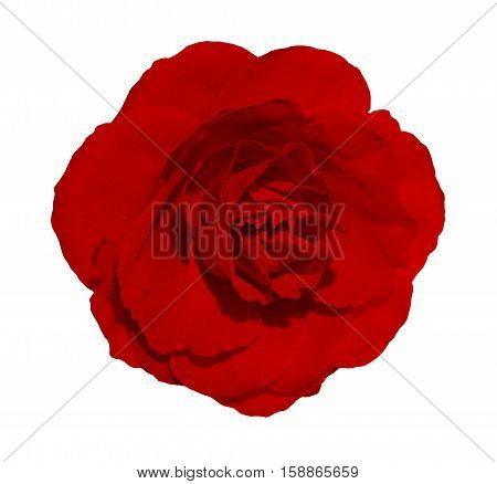 Isolated beautiful red rose on white background. Blossom closeup flower useful for holidays design invitation, valentine greeting card etc.