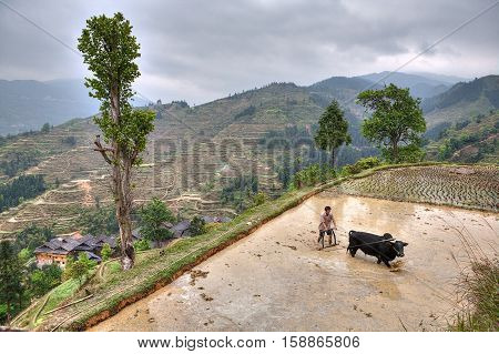 Zhaoxing Dong Village Guizhou Province China - April 9 2010: Asian farmer with bull plowing flooded rice fields.
