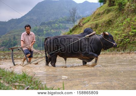 Zhaoxing Dong Village Guizhou Province China - April 9 2010: Chinese peasant cultivates paddy field his bull pulling a plow.