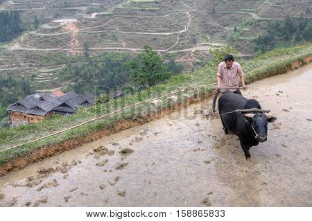 Zhaoxing Dong Village Guizhou Province China - April 9 2010: farmer plowing his flooded rice paddy with bull.