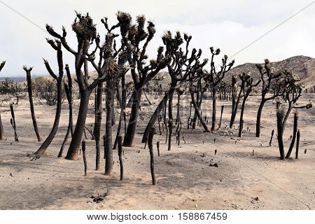 Desolate charcoaled landscape with burnt Joshua Trees caused from a wildfire taken in the Mojave Desert, CA