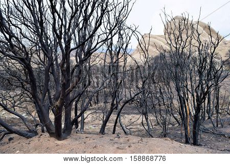 Charcoaled chaparral plants caused from a wildfire taken in Cajon, CA