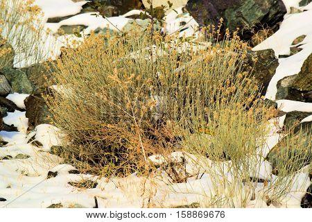 Sage Plants surrounded by snow taken on a rocky landscape taken in Mt Baldy, CA