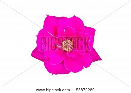 Close up of pink rose isolated on white background