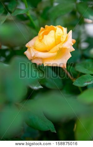 Close-up detail of a yellow-orange rose in a rose bush vertical orientation. Nature and Valentine's Day concept.