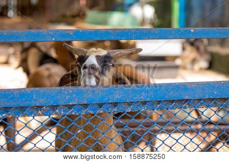 Close-up detail on a brown billy goat looking over a blue metal mesh fence. Animal agriculture concept.