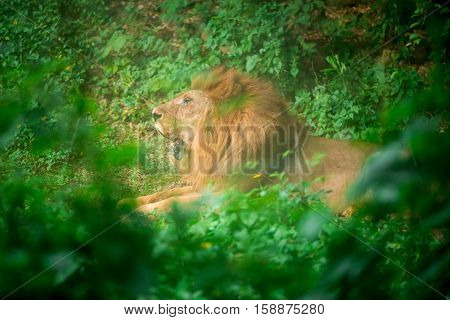 A male lion (Panthera leo) roars deep in a jungle with trees in the foreground and background. Nature and conservation concept.