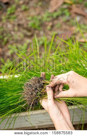 Close-up detail of a hand holding a bundle of rice seedlings with a trough full of plants in the background. DIY gardening and farming concept.
