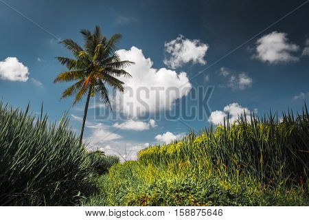 Rice field and palm tree at sunny day. Ubud, Bali, Indonesia