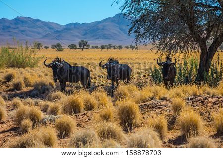 Small herd of wildebeest grazing in the savannah. Dirt road in the African steppe. The concept of exotic tourism in Namibia