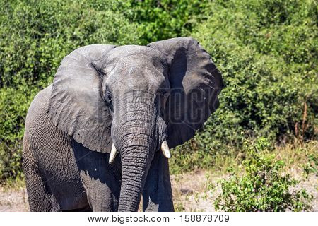 Journey to Africa. Elephant - single. The concept of exotic tourism. Watering large animals in the Okavango Delta, Chobe National Park