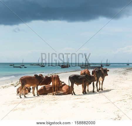 group of resting african brown cows on sandy Zanzibar beach with ocean and sky on the background