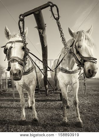 picture of white horses with a horse carriage