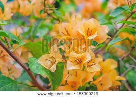 Fragrant orange Bougainvillea spectabilis flower with blurred evening background. Botanical photography.