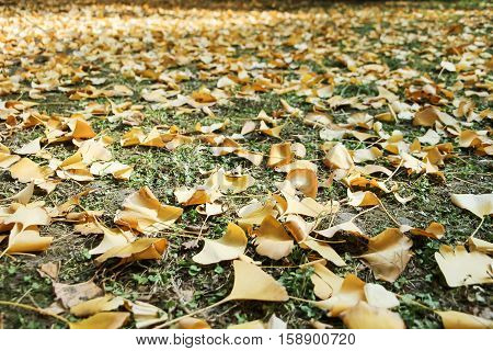 fallen golden gingko leaves on ground in autumn