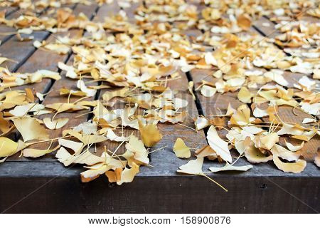 golden gingko leaves fallen on wooden floor
