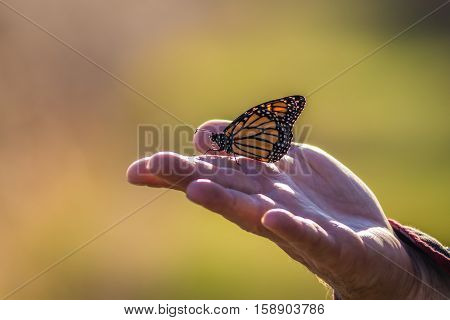 A Viceroy Butterfly (Limenitis archippus) sits on a human hand about to fly with soft palette background