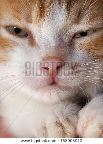 Portrait of funny white-red sleepy kitten. Cat Muzzle close