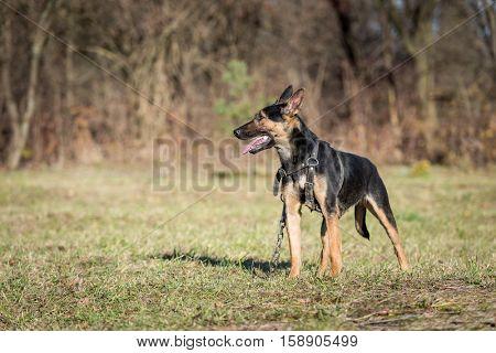 Belgian shepherd on green lawn