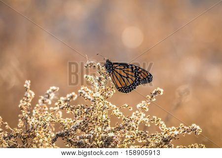 Viceroy Butterfly (Limenitis archippus) is seen perched on dried flowering bushes with soft bokeh background