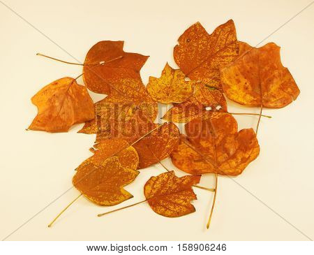 Autumn Leaves (Tulip Poplar) - The beauty of the autumn season is evident in the changing of colors and falling leaves