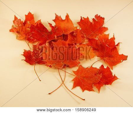 Maple Leaves - The beauty of the Autumn season is seen in the colors of falling leaves. Here is a cluster of maple leaves on a white background