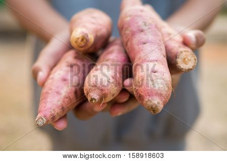 Sweet Potatoes In Farmer Hands.