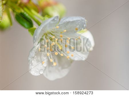 delicate cherries flower with drops of dew on the stamens and pistil close-up spring background