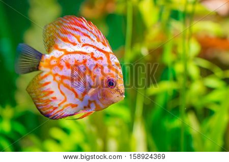Vividly colored discus or Symphysodon between aquarium plants