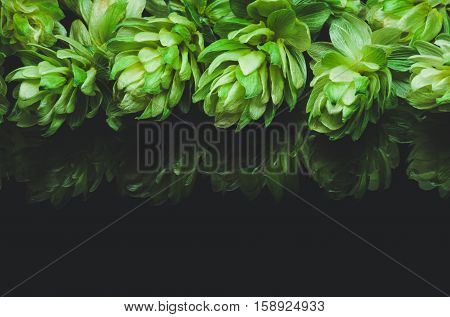 Green hop cones on a dark background grown for brewing beer and bread as well as a seasoning for food