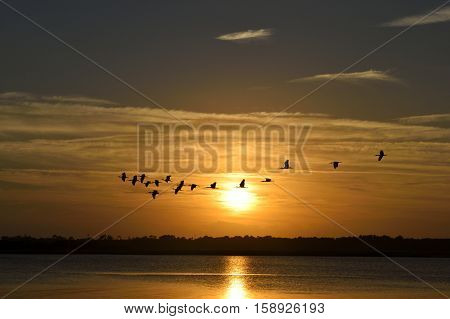 Great White Herons flying over the river at sunset  Florida, USA
