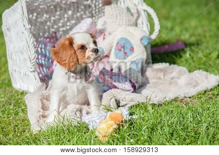 cute cavalier king charles playing in a picnic basket