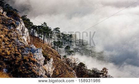 Landscape with pine forest on mountains slope in fog