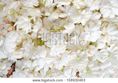 Jasmine Flowers Spread Over White Background