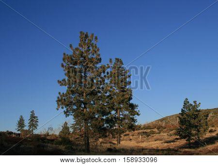Tall pine trees at dusk, Mt. Laguna, San Diego County, CA