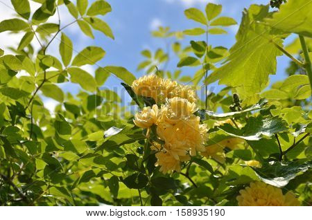Rosa banksiae 'Lutea'.Bush with little yellow flowers.