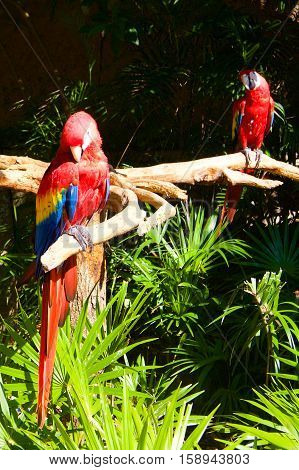 Parrot Ara red in jungle in Mexico