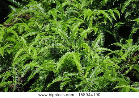 Adiantum Hispidulum Rough Maidenhair fern or five fingered jack growing in the Wuyishan or mount wuyi scenic area in Fujian province China.