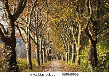 Big platan alley in autumn park, Germany