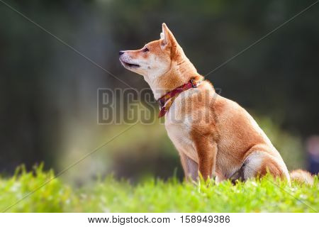 A young shiba inu sits in the park.